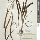 Image of <i>Lepisorus spicatus</i> (L. fil.) Li Wang