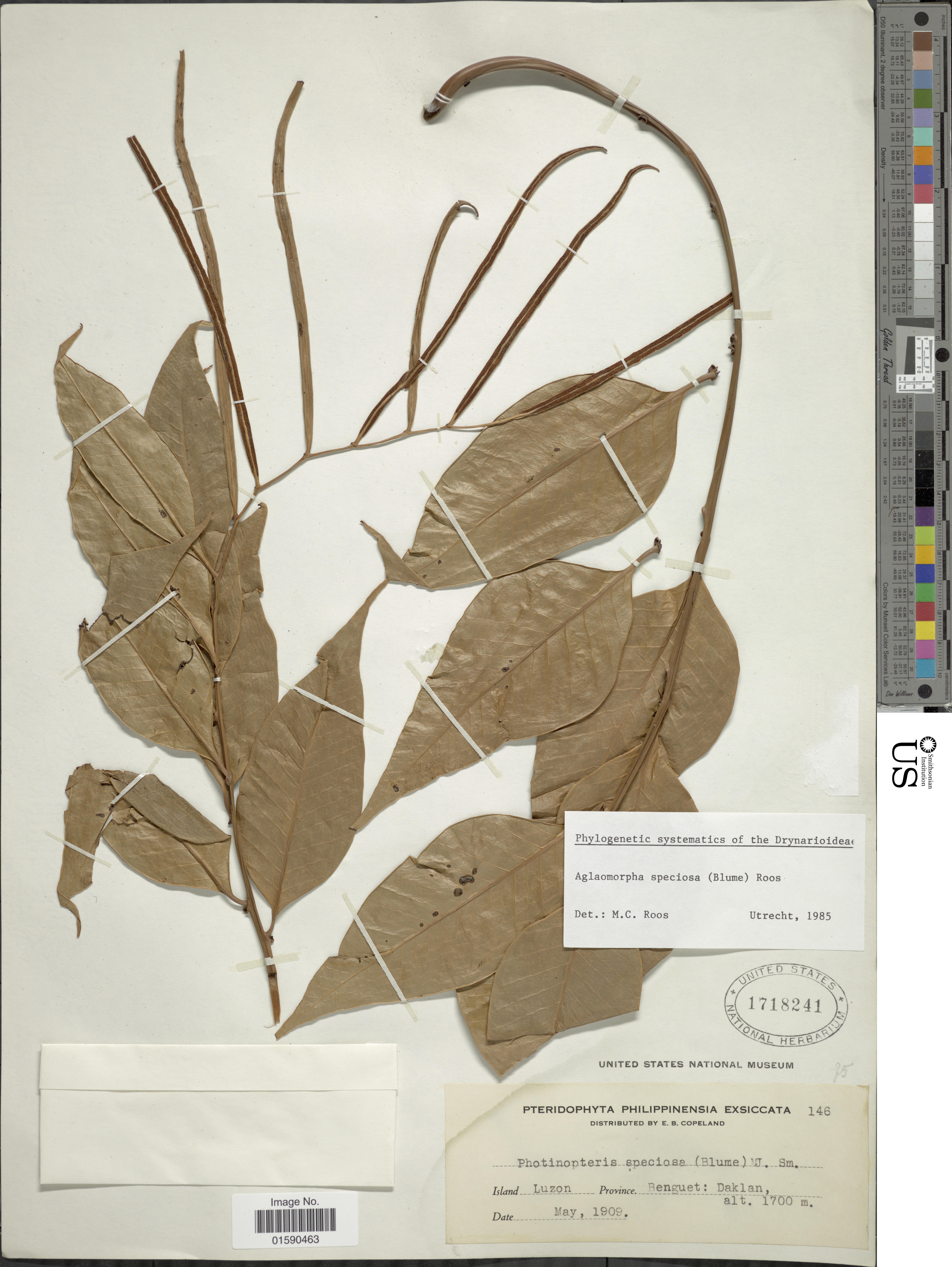 Image of <i>Aglaomorpha speciosa</i> (Bl.) M. C. Roos