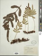 Image of leathery polypody