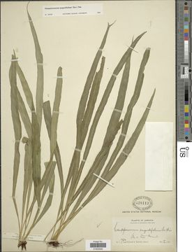 Image of narrow strapfern