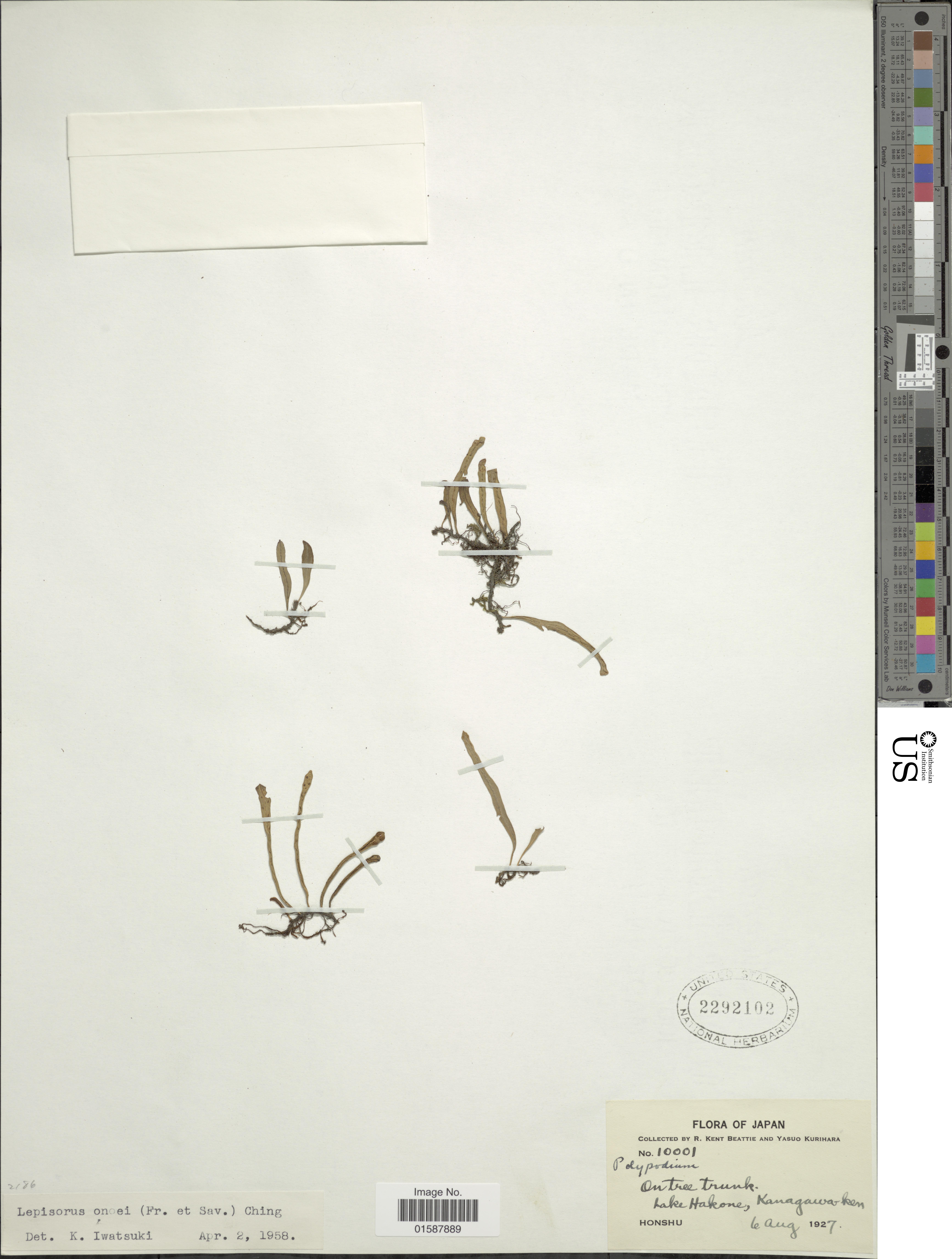 Image of <i>Lepisorus onoei</i> (Franch. & Sav.) Ching