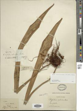 Image of <i>Pyrrosia subfurfuracea</i> (Hook.) Ching