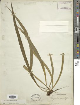 Image of narrow strapfern