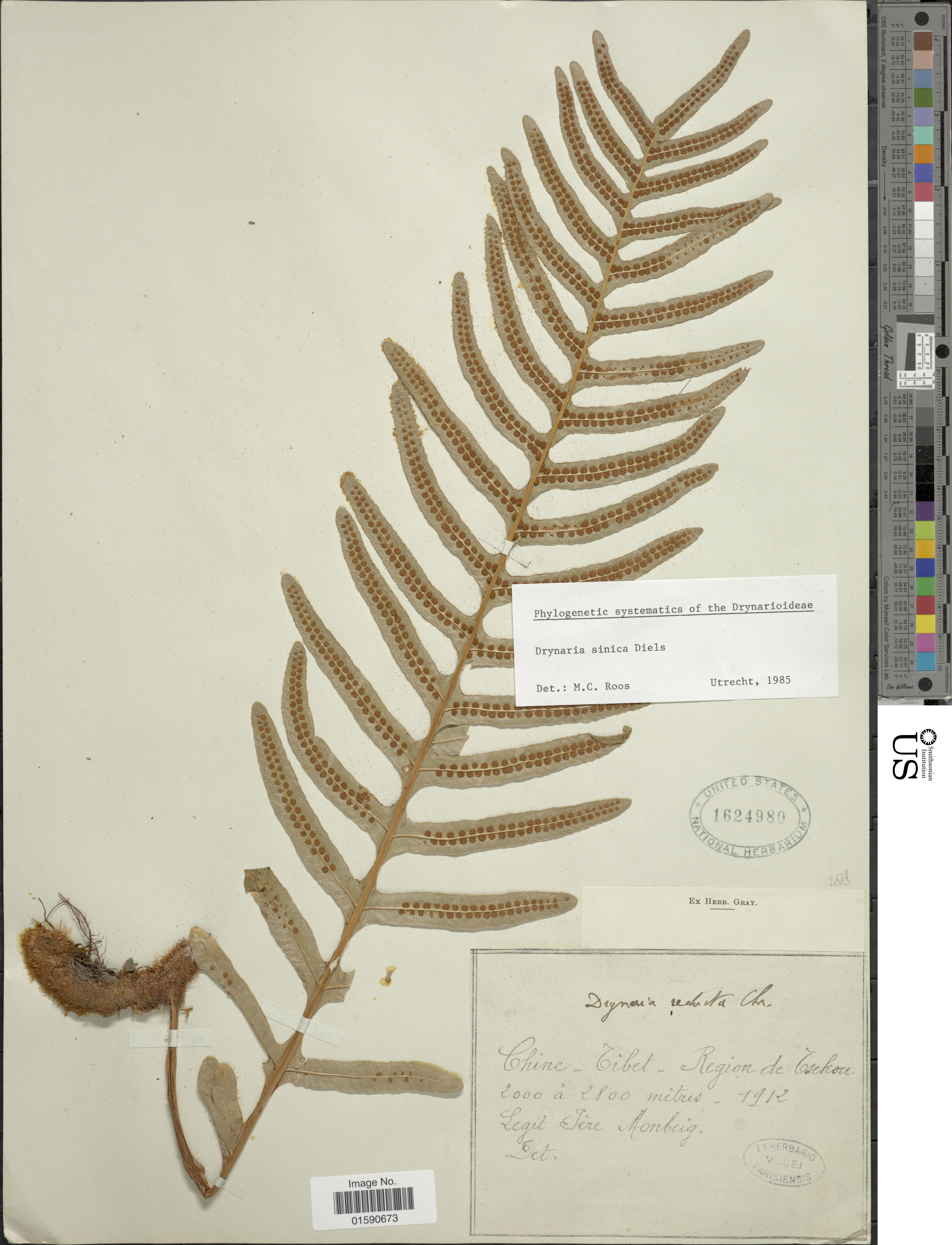 Image of <i>Drynaria sinica</i> Diels