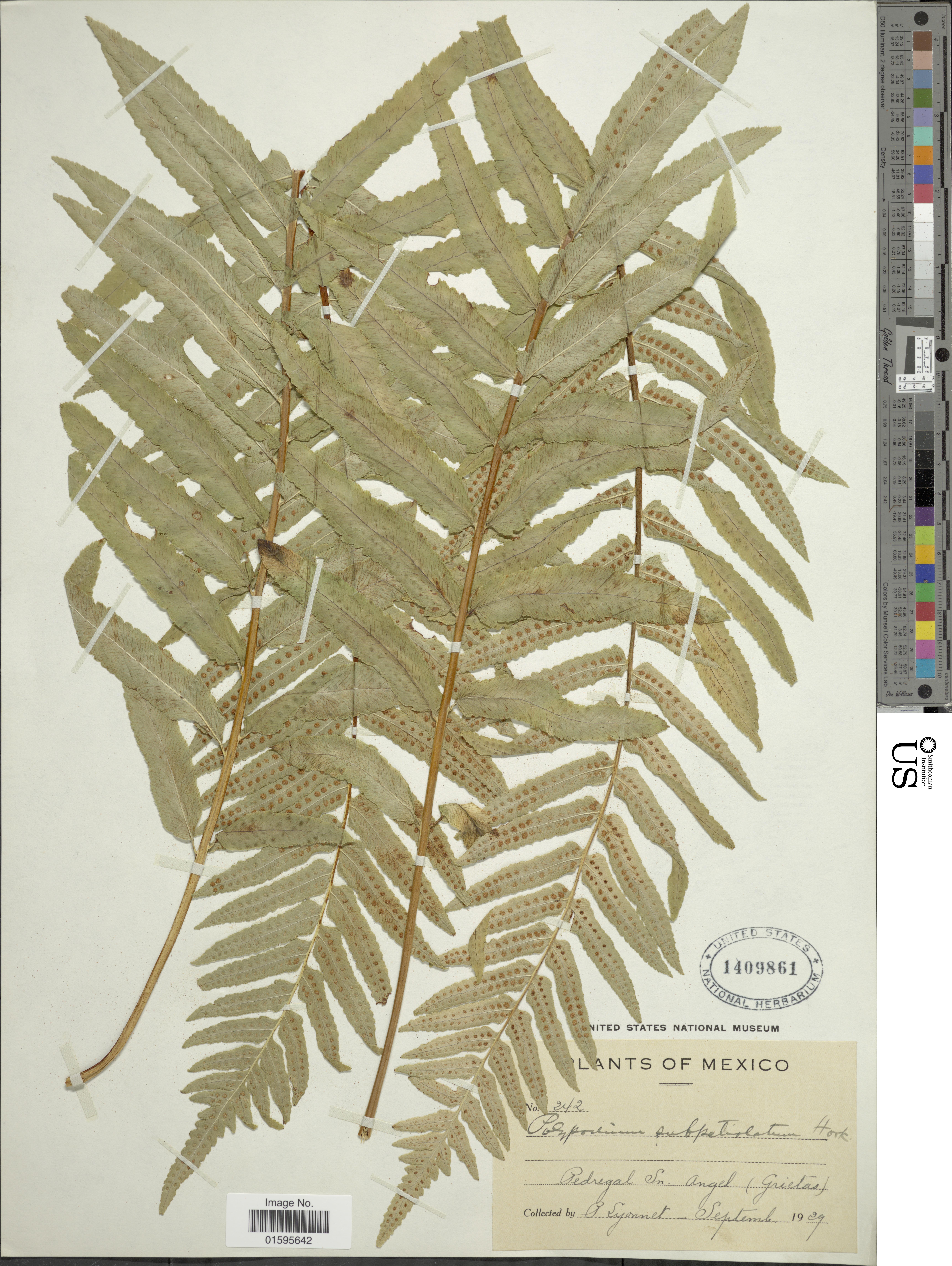 Image of <i>Polypodium subpetiolatum</i> Hook.