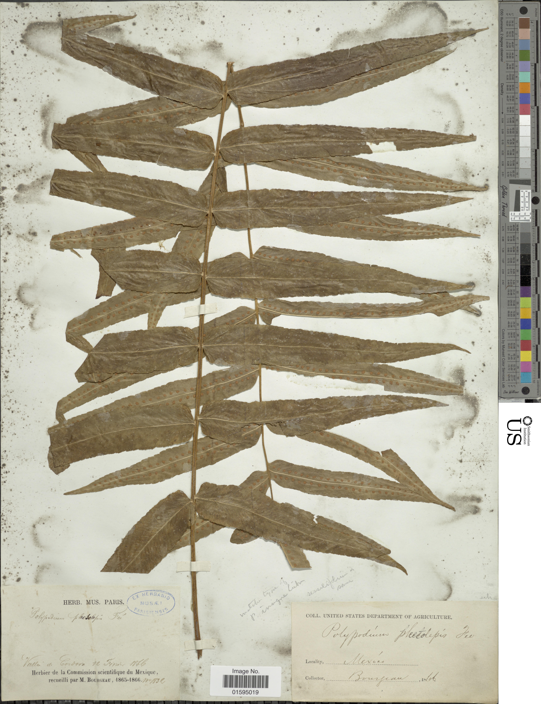 Image of <i>Polypodium echinolepis</i> Fée