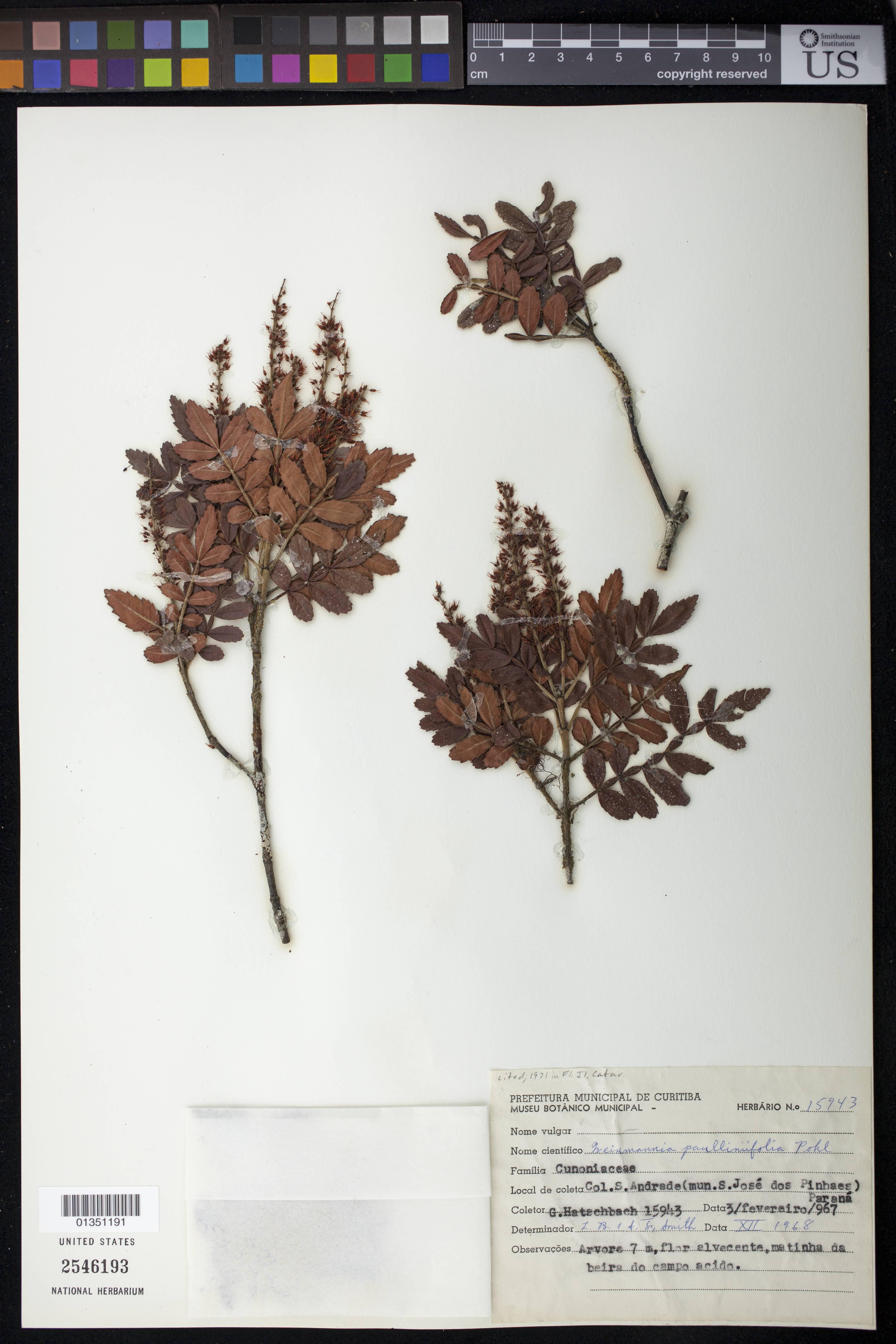 Image of <i>Weinmannia paulliniifolia</i> Pohl