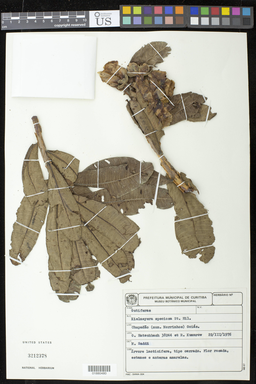 Sivun <i>Kielmeyera speciosa</i> A. St.-Hil. kuva