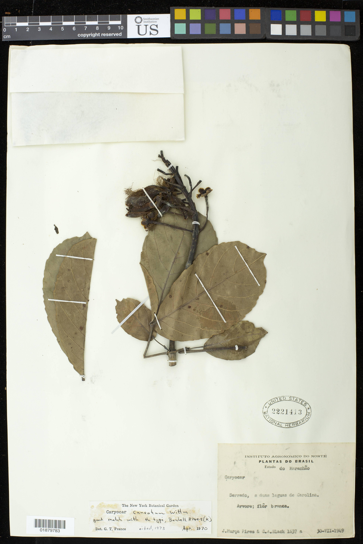 Image of <i>Caryocar cuneatum</i> Wittm.