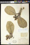Sivun <i>Kielmeyera coriacea</i> Mart. kuva