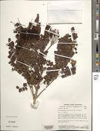Image of <i>Dimorphandra parviflora</i> Benth.