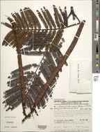 Image of <i>Dimorphandra cuprea</i> Sprague & Sandwith