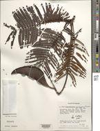Image of <i>Dimorphandra urubuensis</i> Ducke