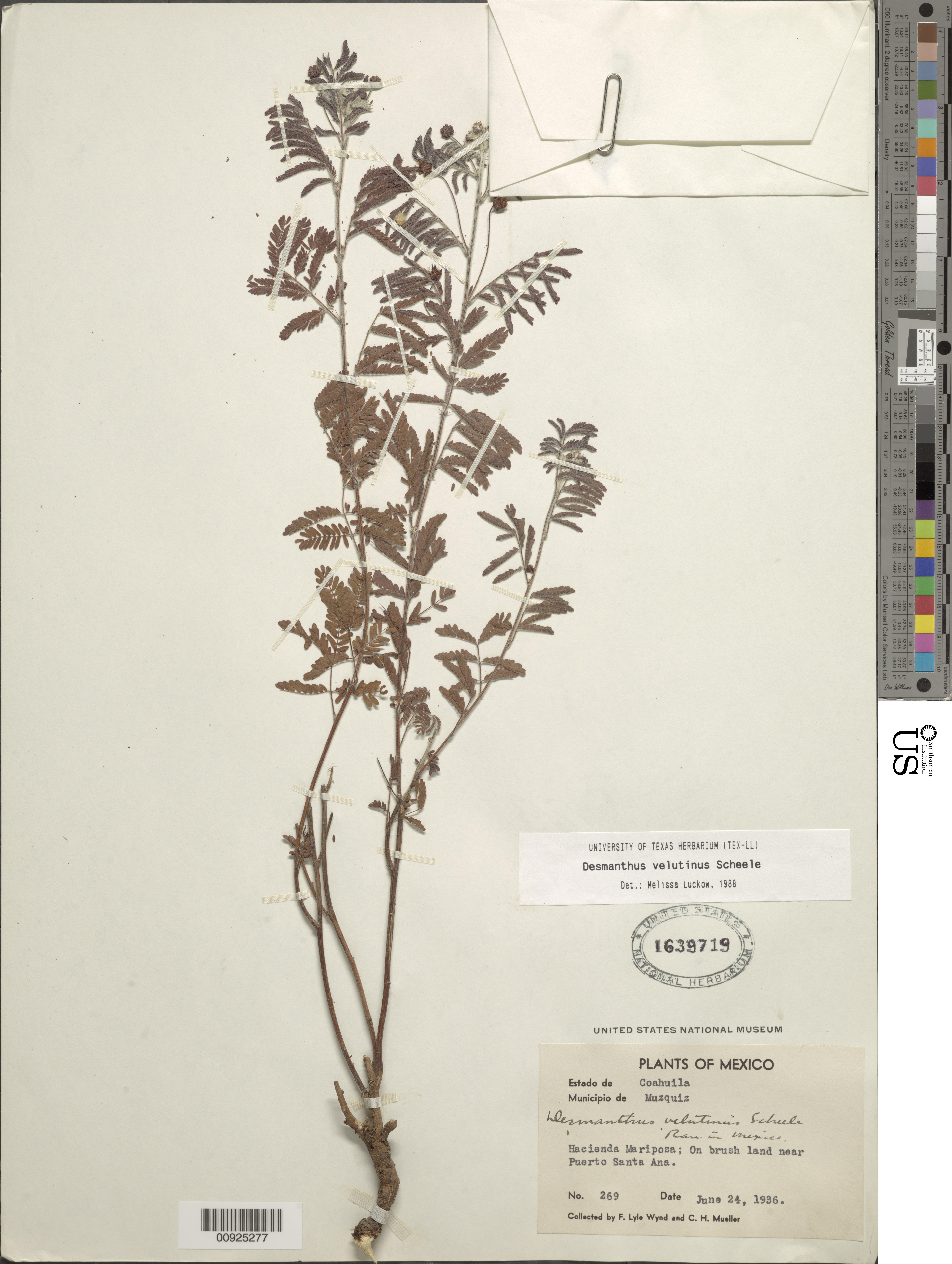 Image of velvet bundleflower