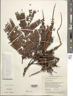 Image of <i>Dimorphandra macrostachya</i> Benth.