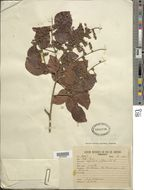 Image of <i>Copaifera pubiflora</i> Benth.