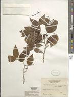 Image of <i>Copaifera cearensis</i> Ducke