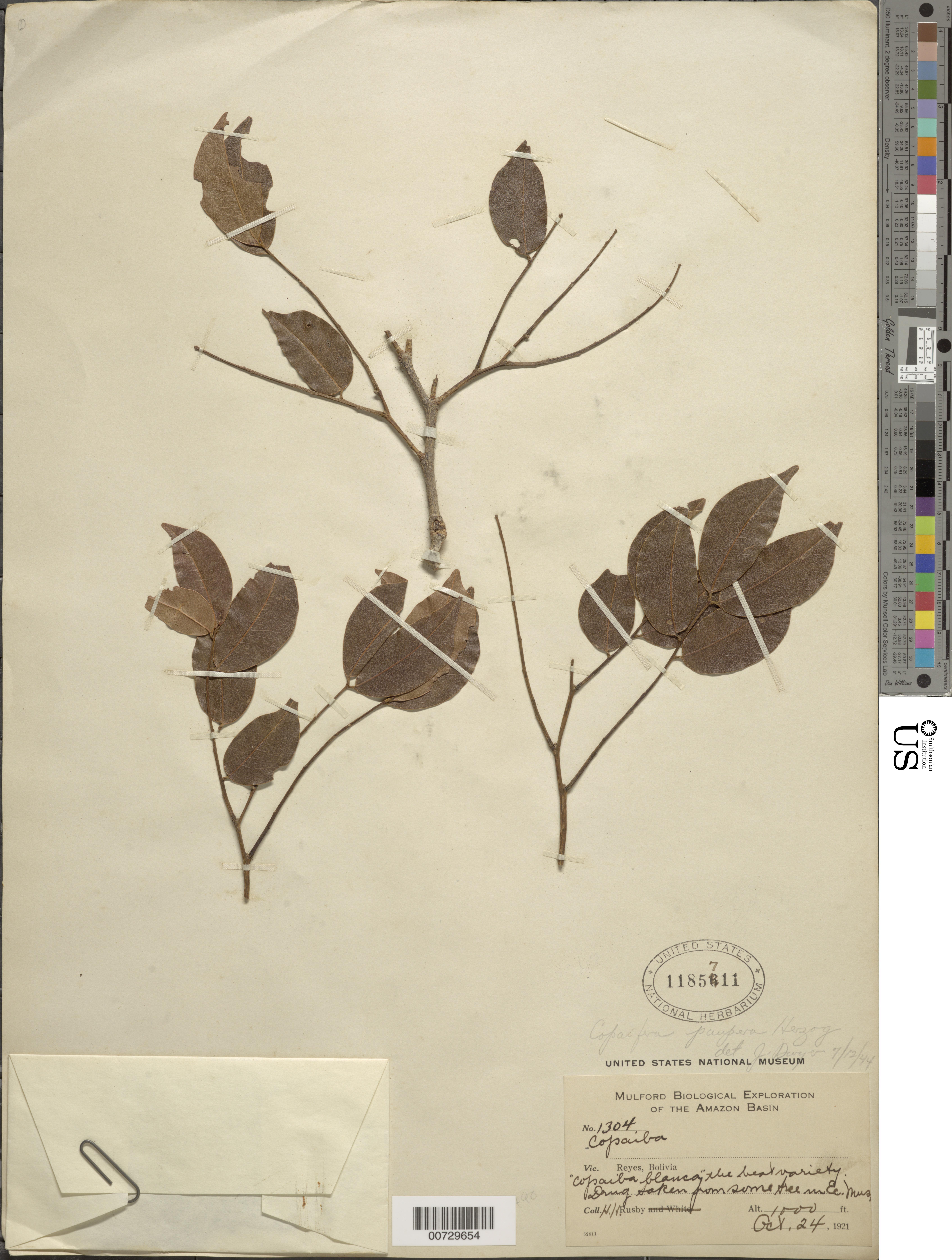 Image of <i>Copaifera paupera</i> (Herzog) Dwyer