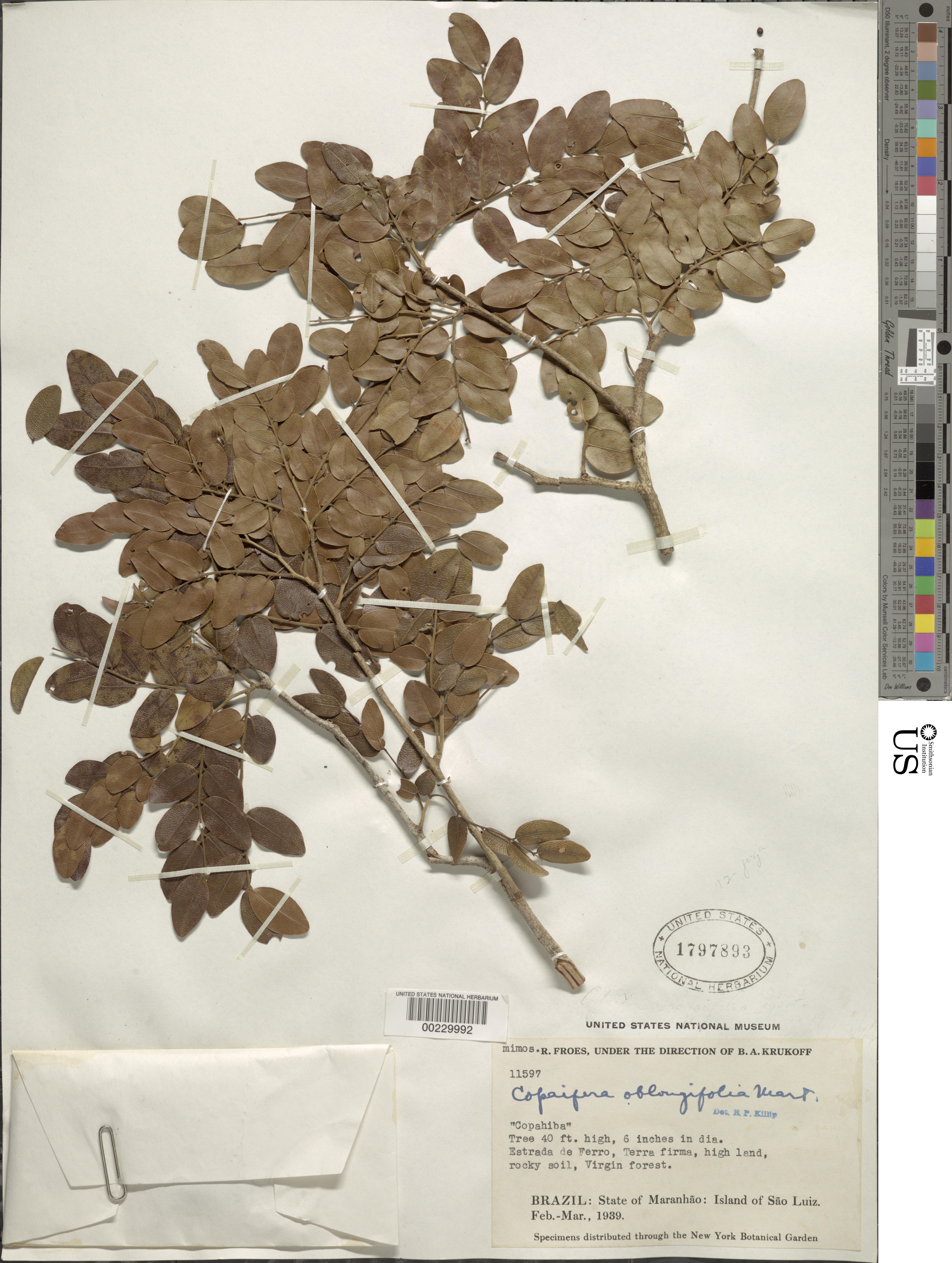 Image of <i>Copaifera oblongifolia</i> Mart.