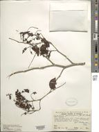 Image of <i>Copaifera panamensis</i> (Britton & Rose) Standl.