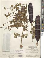 Image of <i>Dimorphandra mollis</i> Benth.