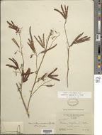 Image of <i>Desmanthus pubescens</i> B. L. Turner