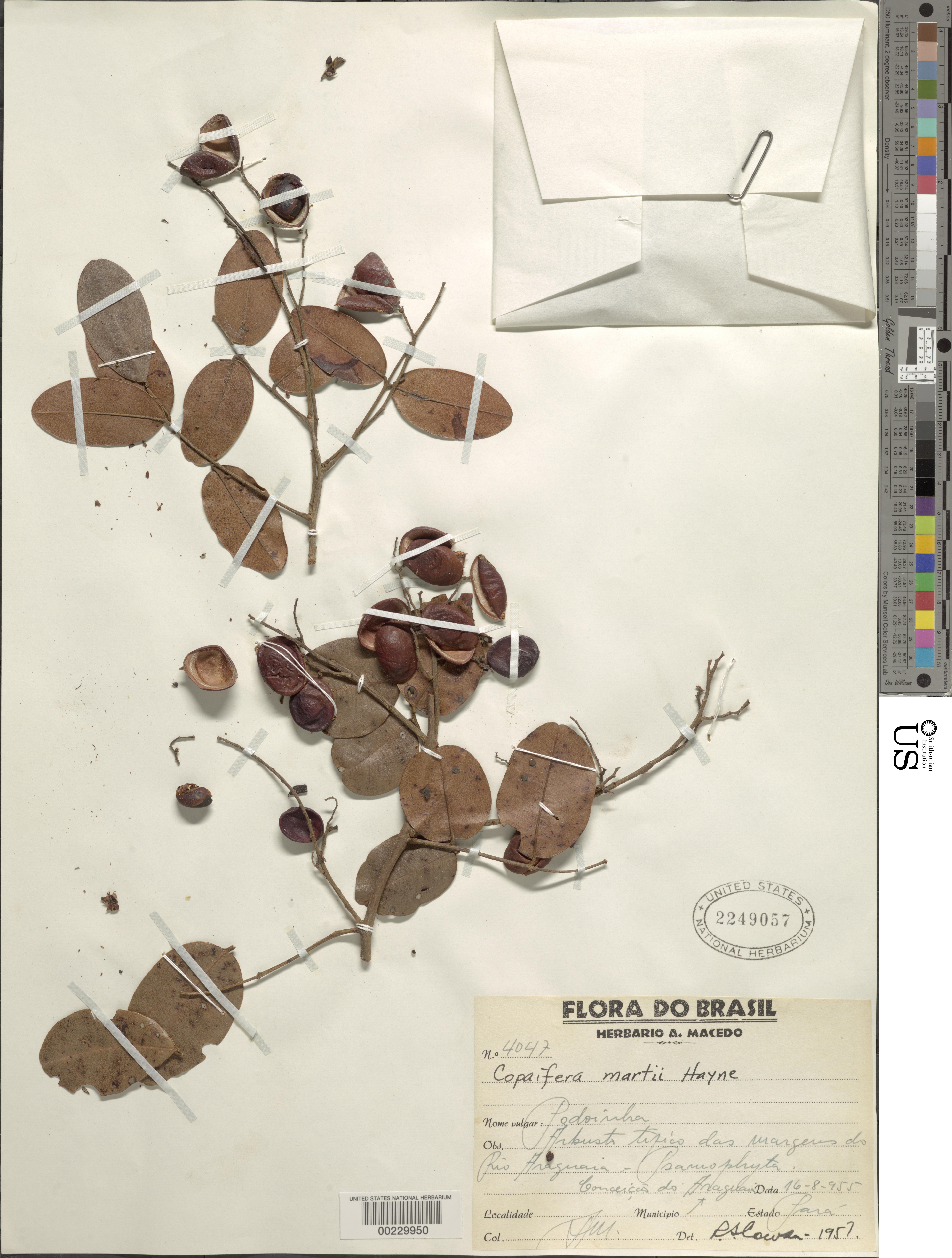 Image of <i>Copaifera martii</i> Hayne