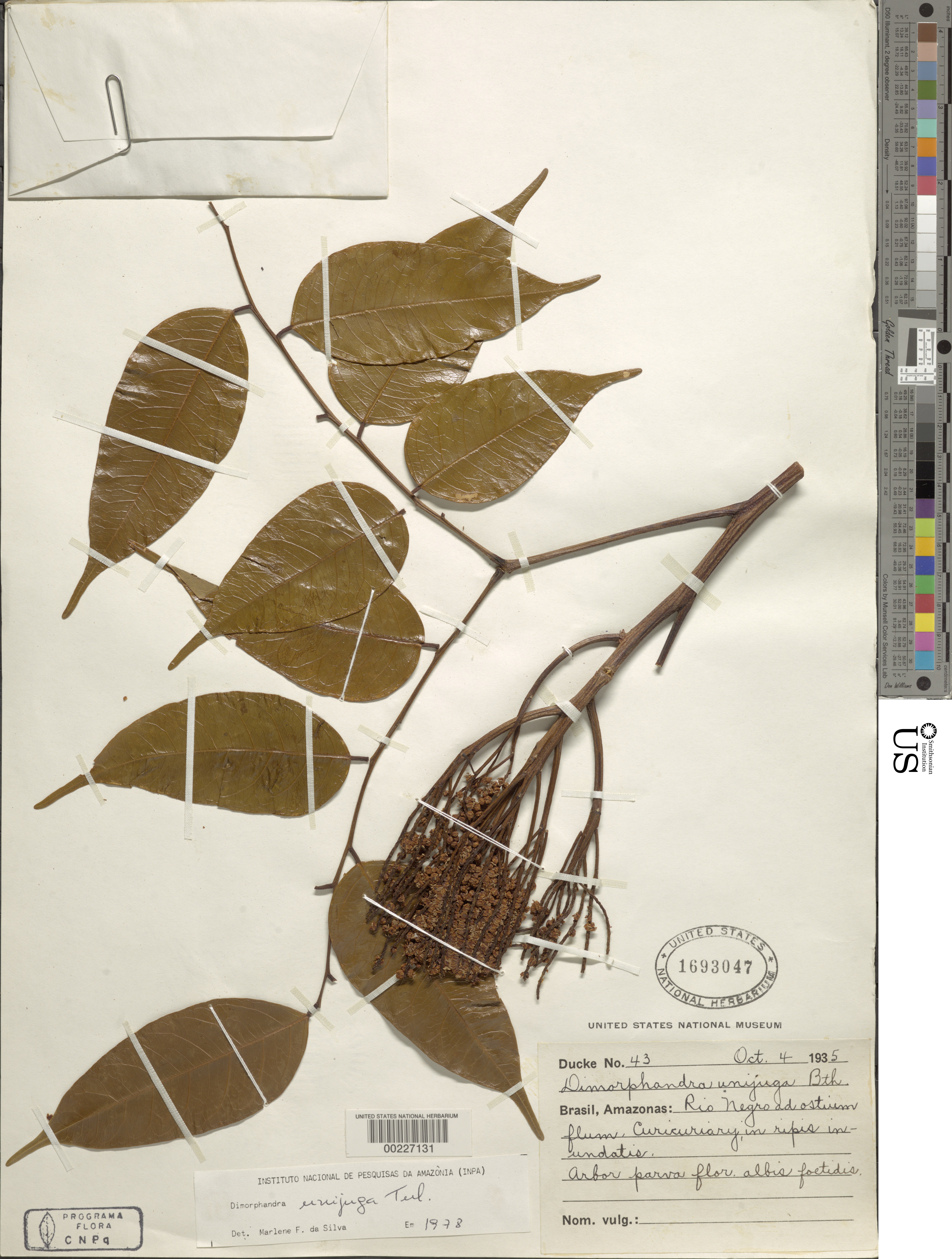 Image of <i>Dimorphandra unijuga</i> Tul.