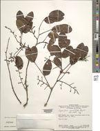 Image of <i>Copaifera cordifolia</i> Hayne