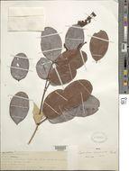 Image of <i>Copaifera marginata</i> Benth.
