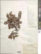 Image of <i>Copaifera coriacea</i> Mart.