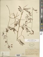 Image of two-horn bundleflower