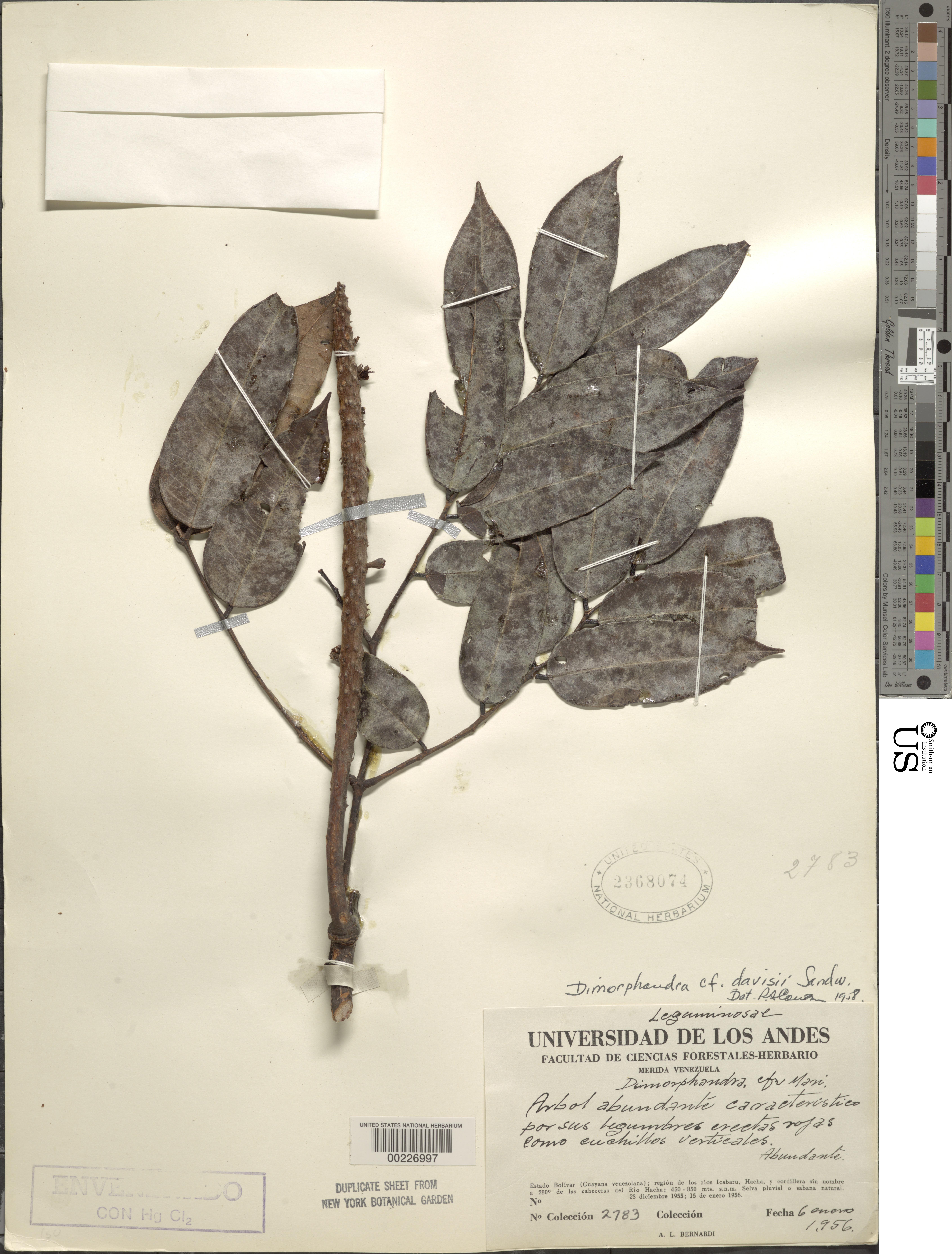 Image of <i>Dimorphandra davisii</i> Sprague & Sandwith