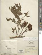 Image of <i>Dimorphandra exaltata</i> Schott