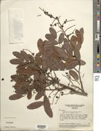 Image of <i>Copaifera luetzelburgii</i> Harms