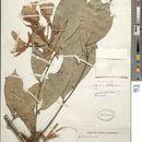 Image of <i>Heterostemon conjugatus</i> Benth.