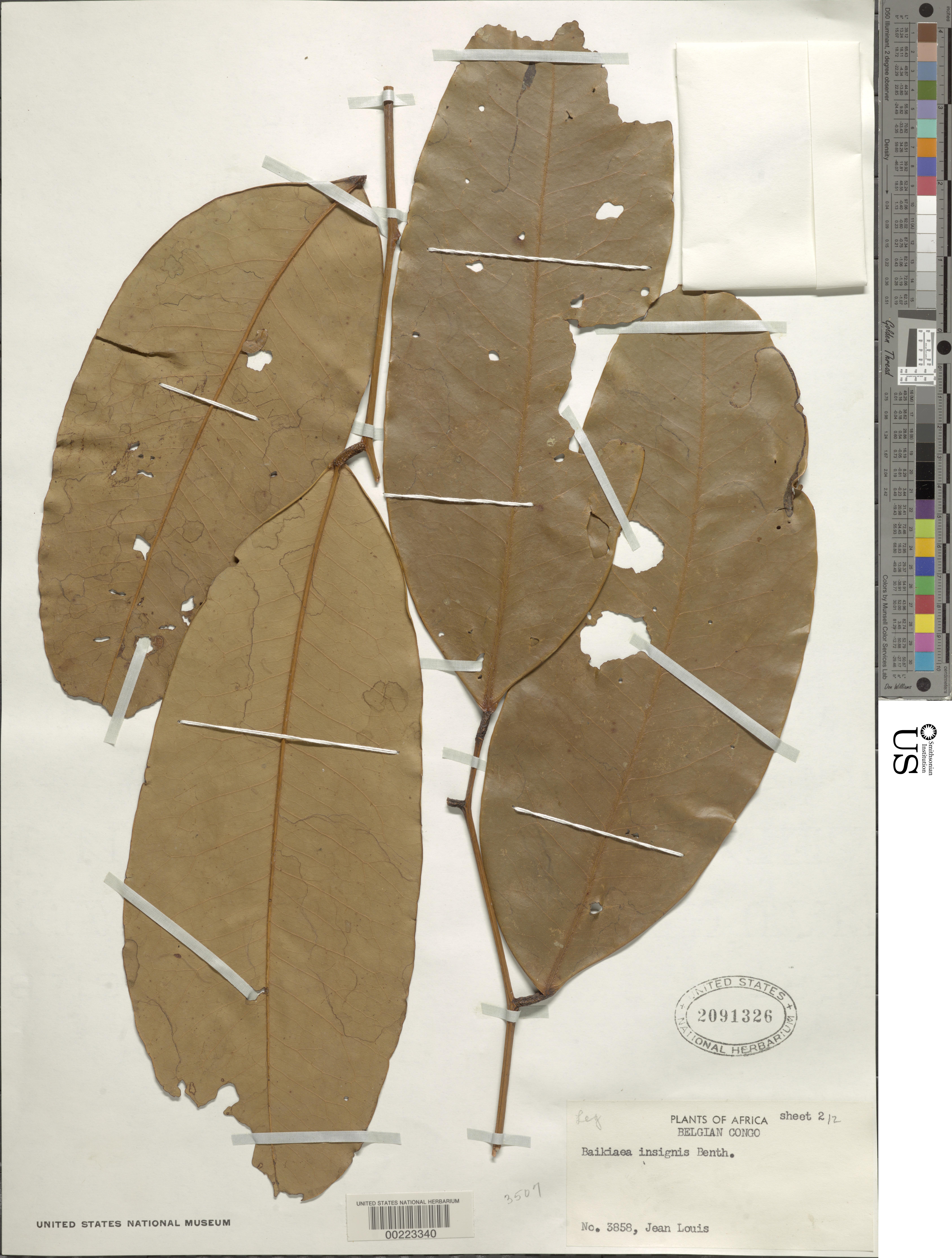 Image of <i>Baikiaea insignis</i> Benth.