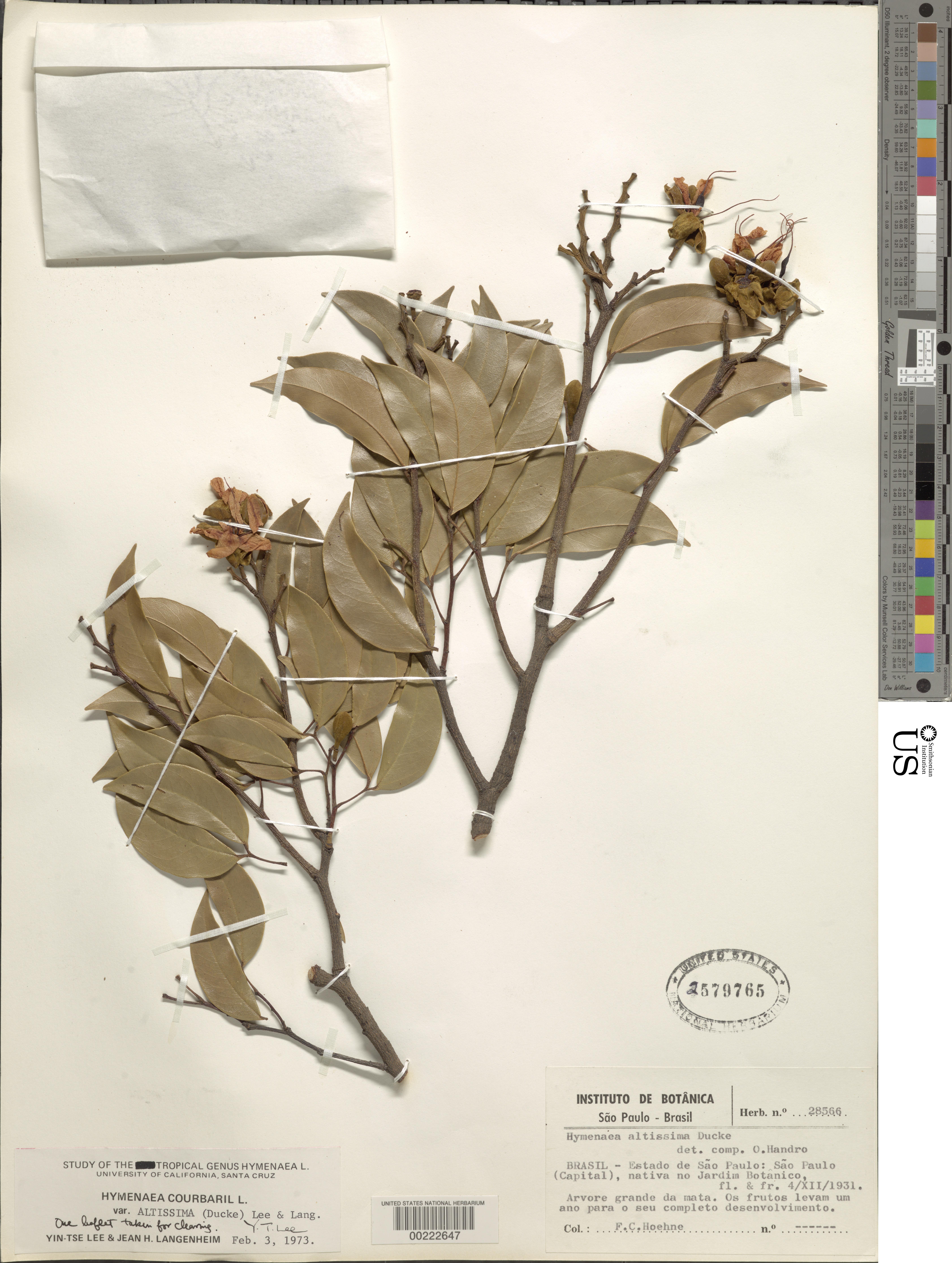 Image of <i>Hymenaea courbaril</i> var. <i>altissima</i> (Ducke) Lee & Langenh.