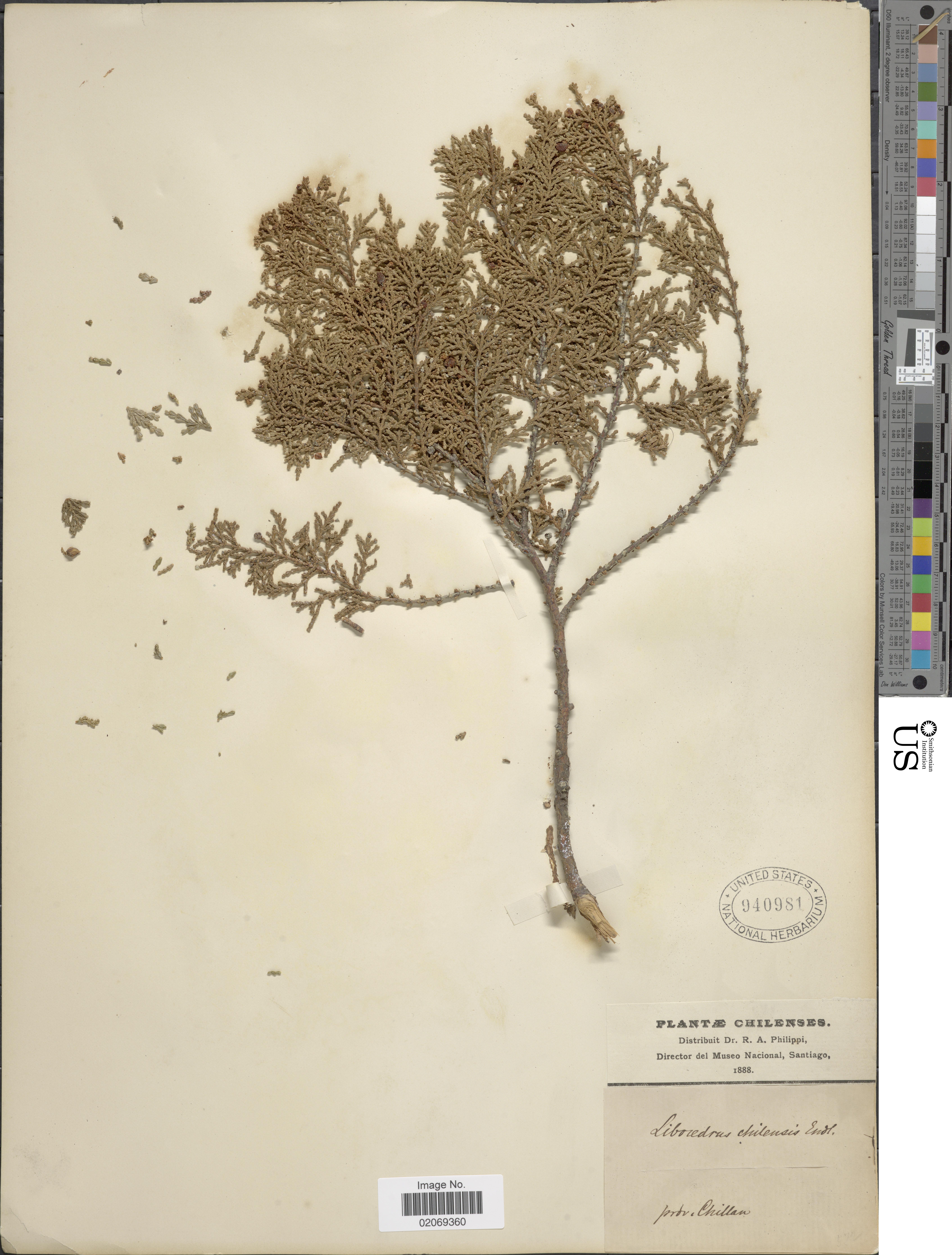 Image of <i>Libocedrus chilensis</i>