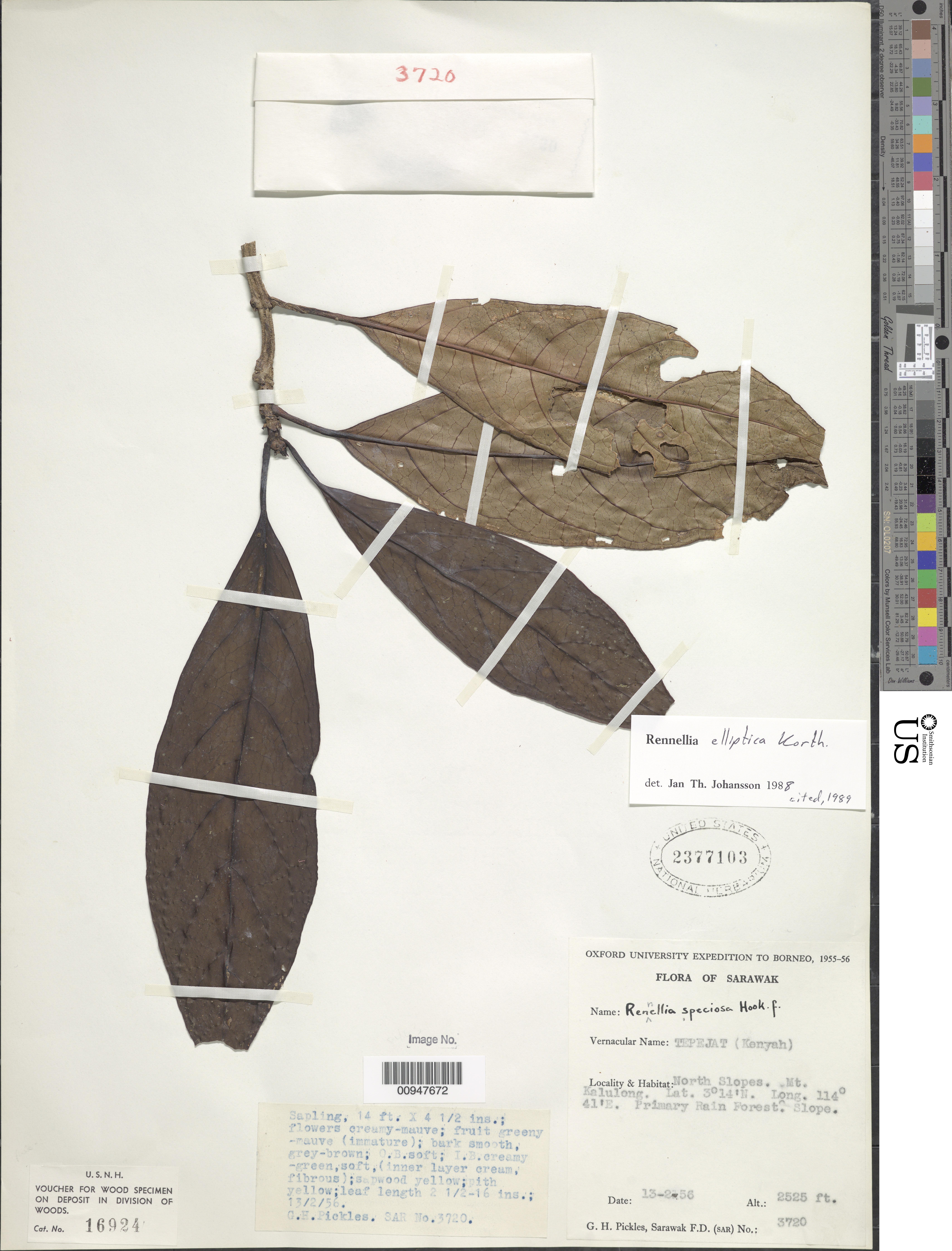 Image of <i>Rennellia elliptica</i> Korth.