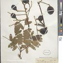 Image of <i>Hymenolobium heterocarpum</i> Ducke