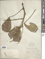 Image of <i>Leptoderris velutina</i> Dunn