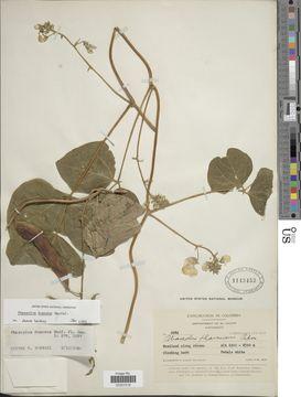 Image of <i>Phaseolus dumosus</i> Macfad.