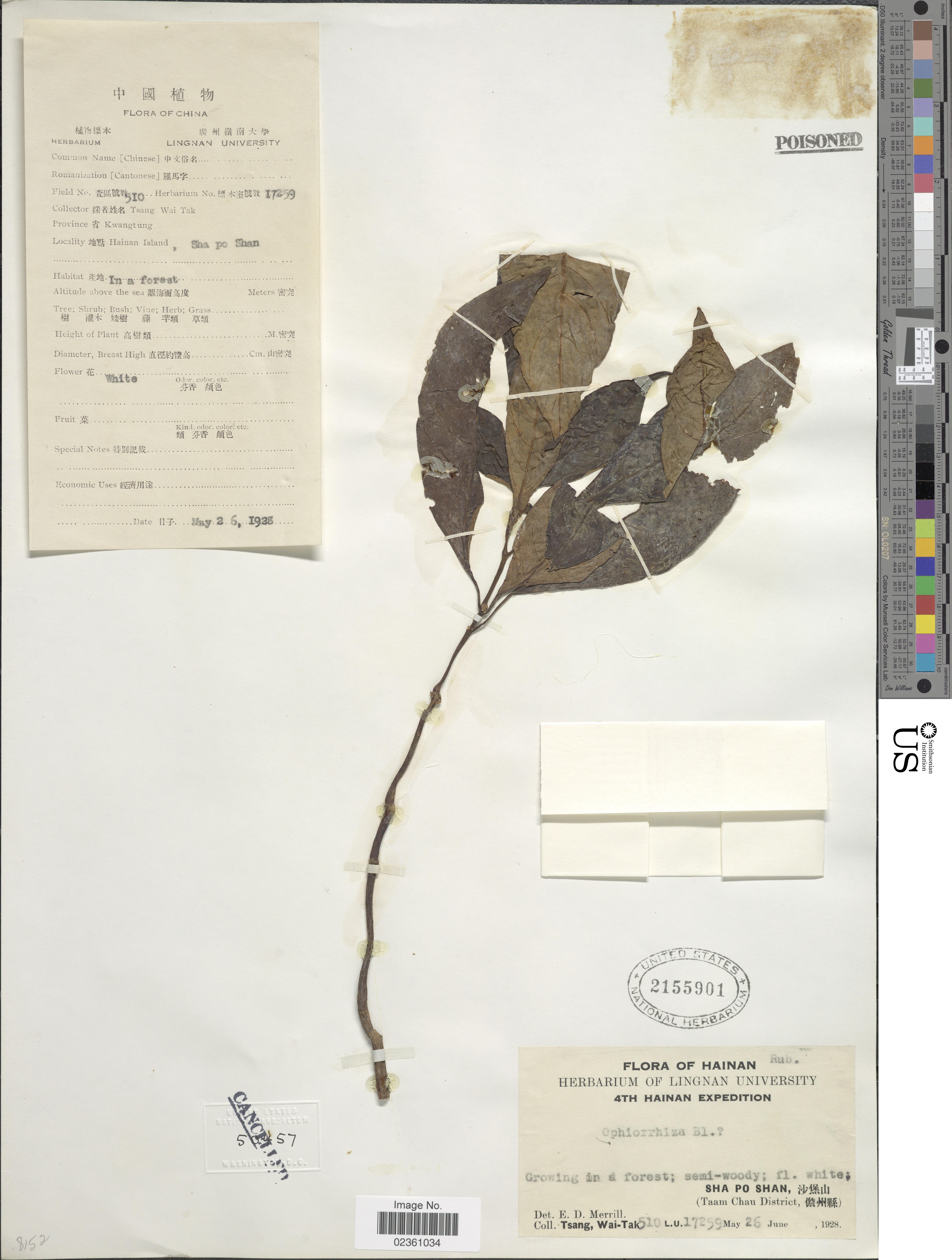 Image of Ophiorrhiza