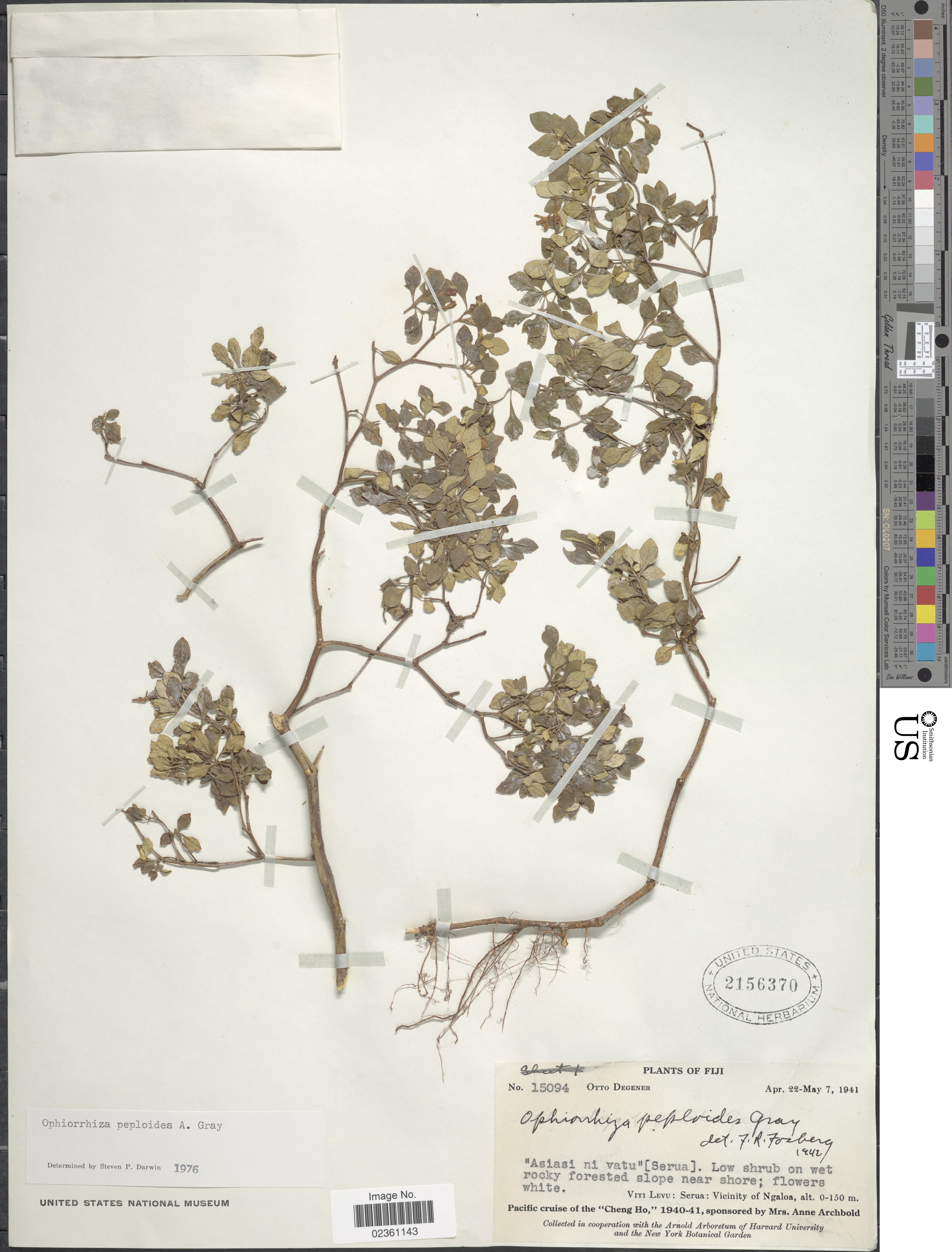 Image of <i>Ophiorrhiza peploides</i> A. Gray