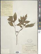 Image of <i>Ophiorrhiza oblongifolia</i> DC.