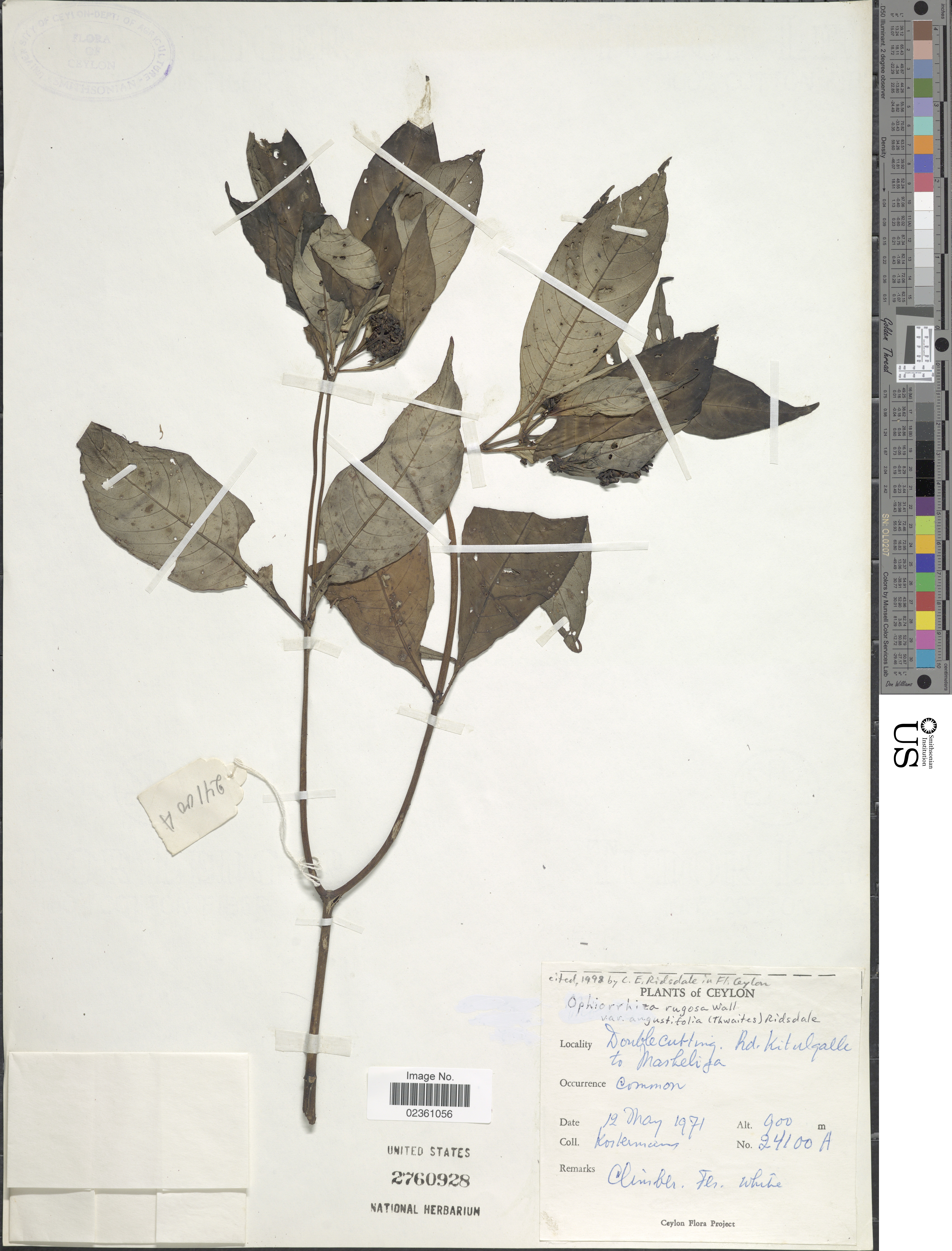 Image of <i>Ophiorrhiza rugosa</i> Wall.