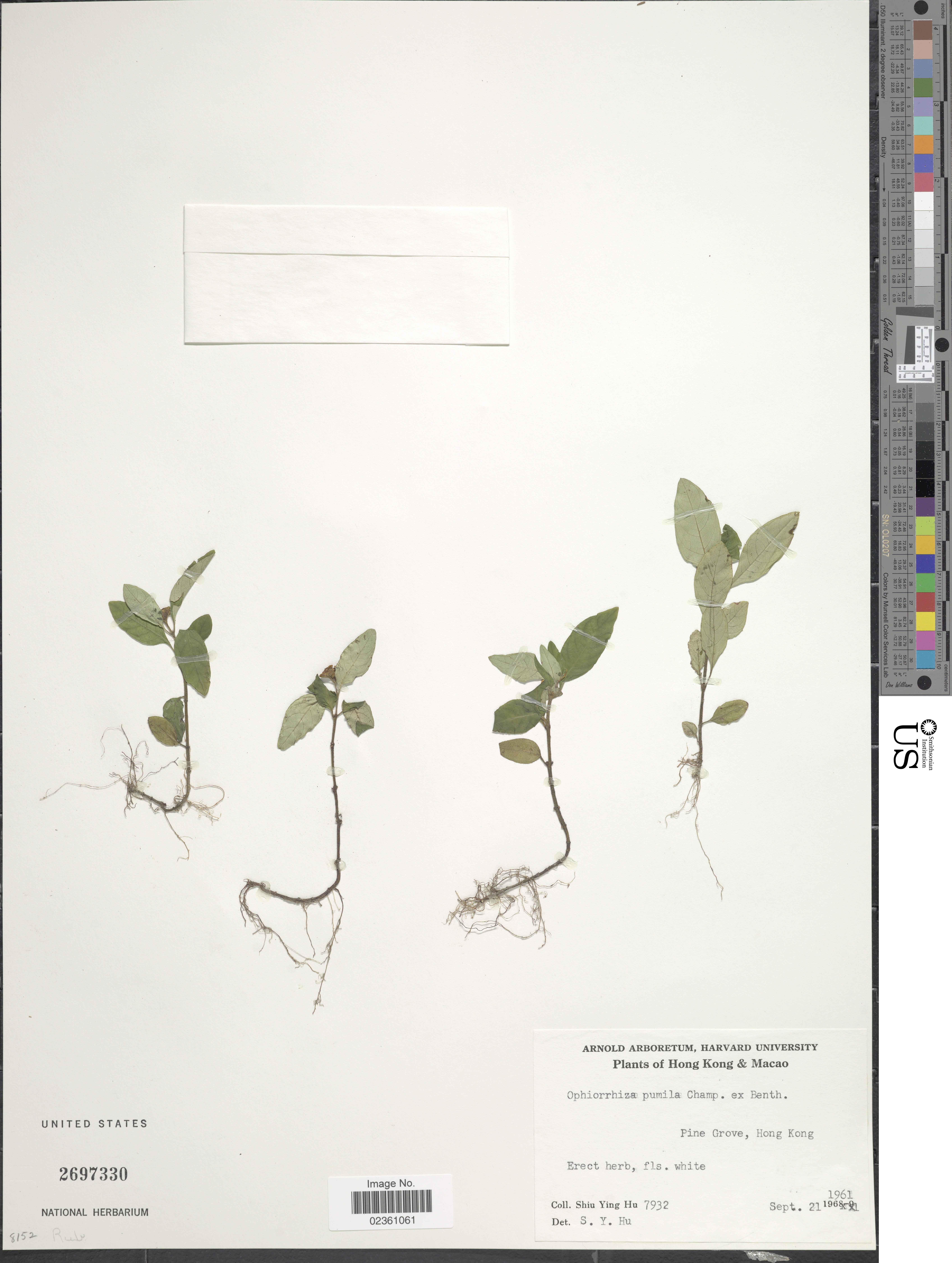 Image of <i>Ophiorrhiza pumila</i> Champ. ex Benth.