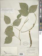 Image of <i>Ramirezella strobilophora</i> var. <i>buseri</i> (Micheli) Marechal et al.