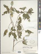 Image of <i>Ophiorrhiza laxa</i> A. Gray